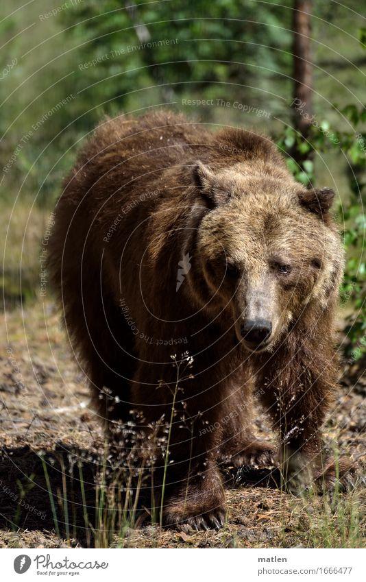 Plant Green Landscape Animal Forest Grass Brown Wild animal Walking Pelt Animal face Claw Bear