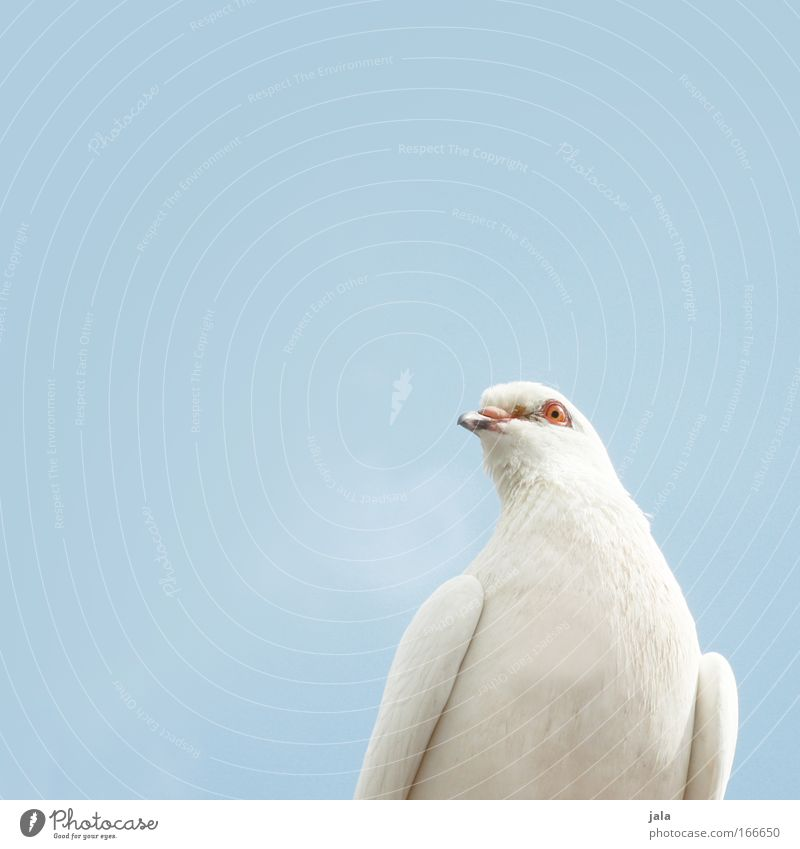 Sky White Blue Animal Freedom Air Bright Bird Peace Animal face Wing Symbols and metaphors Pigeon Dove of peace