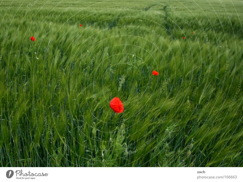 Nature Green Plant Red Landscape Environment Grass Spring Lanes & trails Blossom Field Growth Idyll Blossoming Grain Poppy