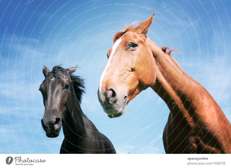 Away and away Colour photo Exterior shot Animal portrait Looking Horse Animal face 2 Pair of animals Rutting season Observe Movement Esthetic Elegant Rebellious