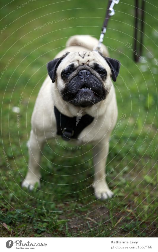 head up Allergy Leisure and hobbies Playing Summer Grass Garden Park Meadow Animal Pet Dog Pug 1 Observe Small Curiosity Cute Green Responsibility Patient