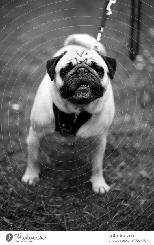 Head up sw Lifestyle Allergy Leisure and hobbies Playing Trip Grass Garden Park Meadow Animal Pet Dog Pug 1 Observe Hiking Small Curiosity Cute Love of animals