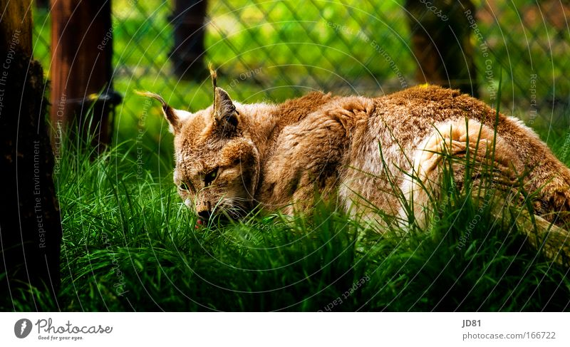 Green Animal Cat Park Brown Lie Wild Animal face Wild animal Observe Pelt Zoo Listening To feed Lynx