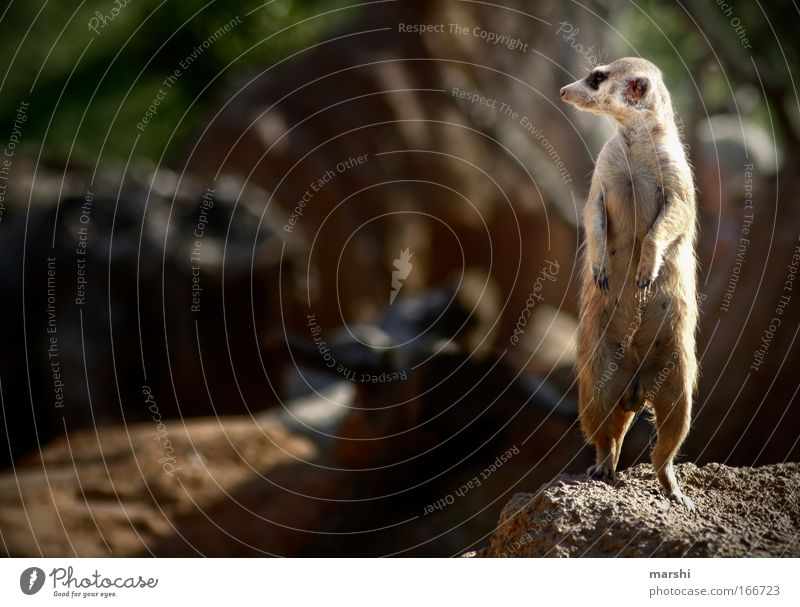 on the lookout, on the lookout... Colour photo Exterior shot Leisure and hobbies Nature Earth Summer Animal Animal face Paw Zoo 1 Observe Stand Exotic Brown Joy