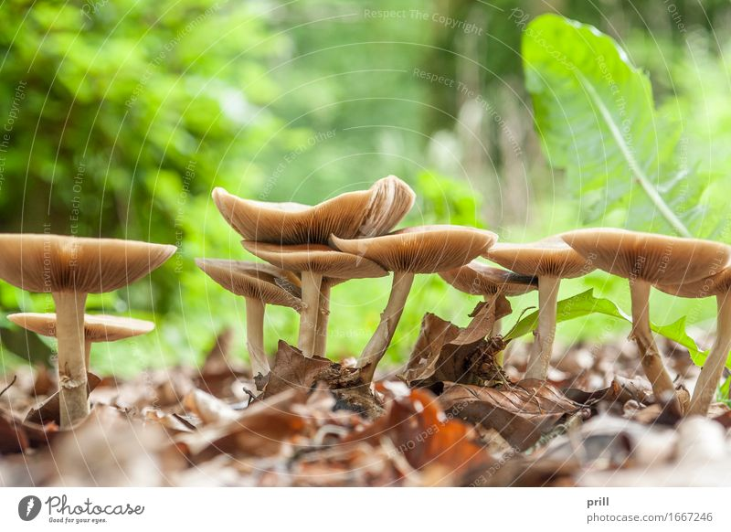 mushrooms in natural ambiance Nature Plant Forest Hat Growth Brown Mushroom flat angle group slats reason fungal infestation Seasons cap detail Biology Natural