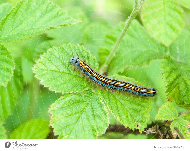 Lackey moth caterpillar Nature Plant Animal Spring Leaf Butterfly Green ringleader ringlet caterpillar malacosoma neustria Insect Striped Botany Unset