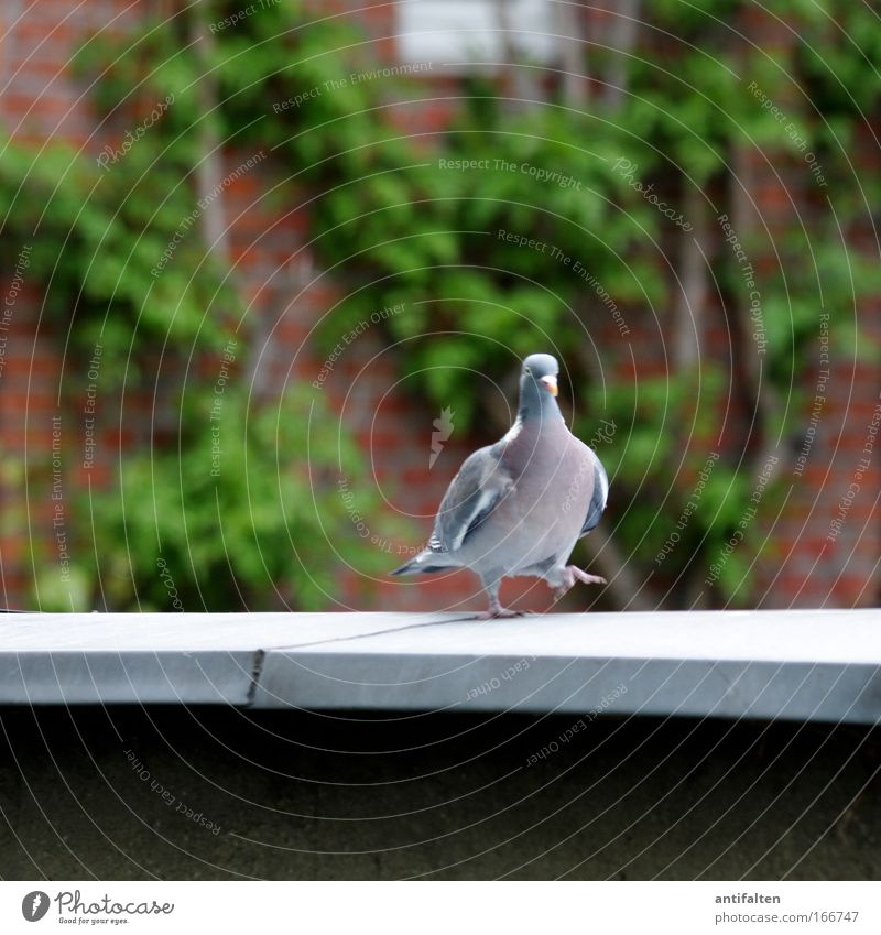The dove on the hot tin roof Nature Spring Ivy Facade Terrace Roof Animal Pigeon Wing Claw 1 Brick Going Blue Gray Green Red Pride Colour photo Exterior shot