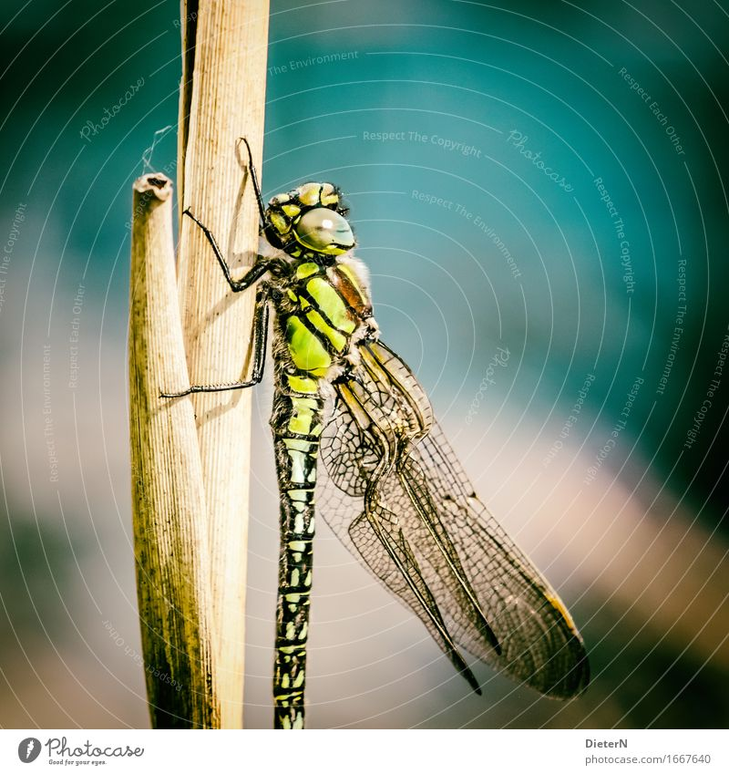 In the light Animal Wild animal Wing 1 Multicoloured Yellow Gold Green Dragonfly Dragonfly wing Colour photo Exterior shot Detail Macro (Extreme close-up)