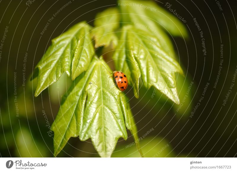 Ladybird on fresh green Nature Plant Animal Foliage plant Wild animal Beetle 1 To feed Fresh Bright Insect Sweet wild life Wilderness shoots Bright green