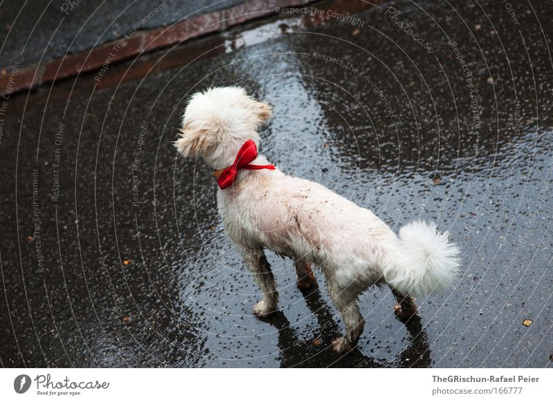poodle wet Colour photo Exterior shot Evening Twilight Reflection Bird's-eye view Animal Pet Dog 1 Freeze Looking Wet Red White Appetite Loneliness Exhaustion