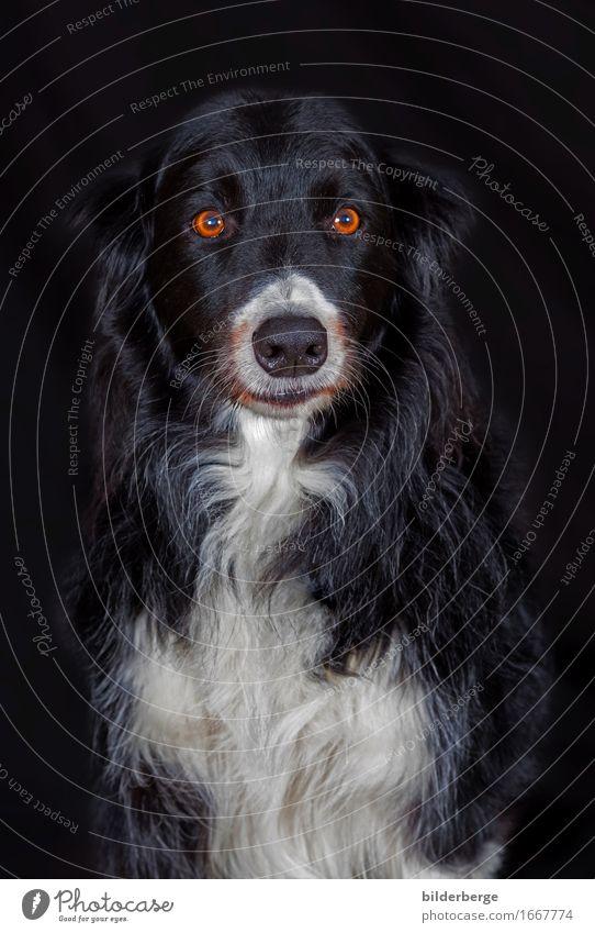 "Dog in the photo studio Lifestyle Nature Emotions portaritic bilderberg Photography ""Canvas Background Black Eyes White Colour photo Studio shot"