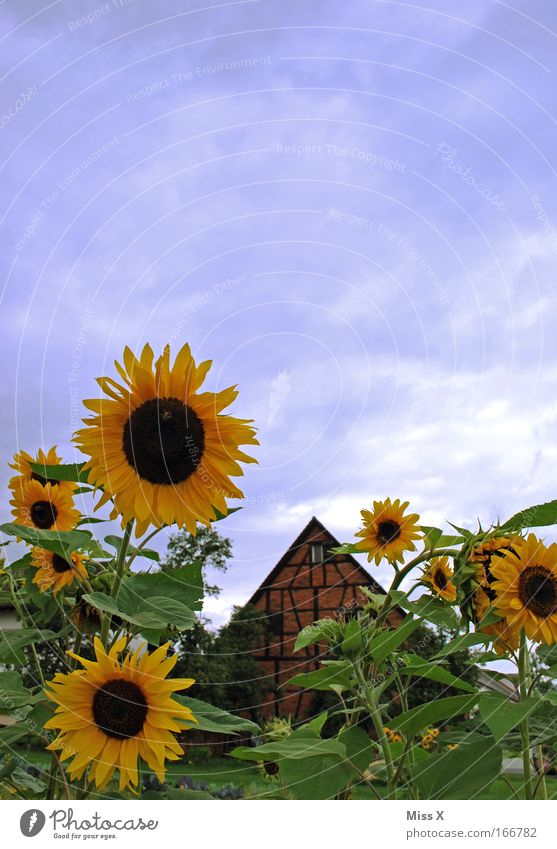 Hello summer sun and sunflowers Colour photo Multicoloured Deserted Copy Space top Garden Plant Sun Summer Beautiful weather Flower Blossom Park Meadow Hut
