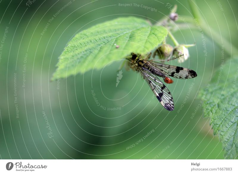 scorpion fly Environment Nature Plant Animal Spring Leaf Bud Forest Wild animal Fly 1 To hold on Esthetic Beautiful Uniqueness Small Natural Gray Green Black
