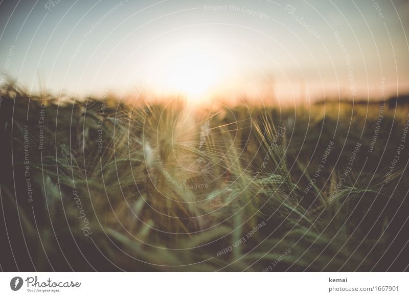 Golden light of home III Harmonious Well-being Senses Relaxation Calm Freedom Environment Nature Plant Summer Beautiful weather Warmth Agricultural crop Barley