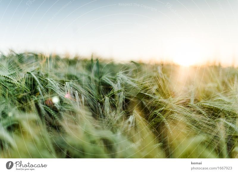 Warming light Environment Nature Cloudless sky Sun Sunrise Sunset Sunlight Summer Beautiful weather Warmth Plant Agricultural crop Barley Barleyfield Grain
