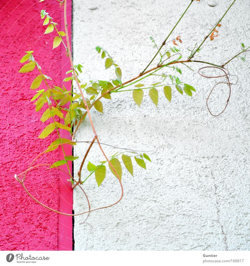 White Green Plant Joy House (Residential Structure) Wall (building) Architecture Gray Wall (barrier) Bright Pink Facade Esthetic Crazy Foliage plant