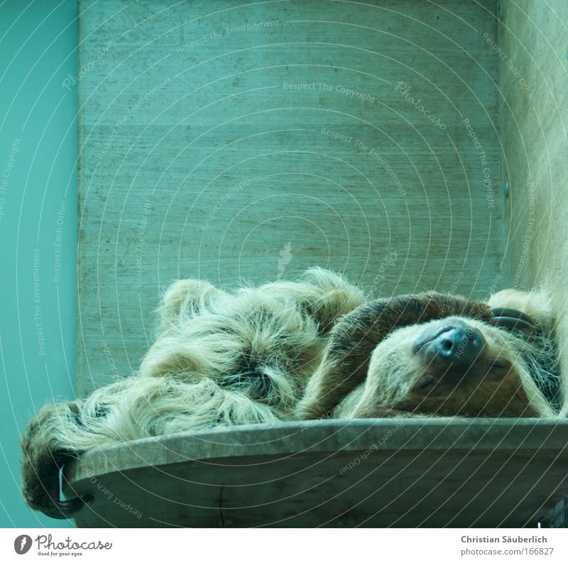 Life is beautiful Colour photo Interior shot Copy Space top Artificial light Long shot Closed eyes Animal Wild animal Zoo Sloths 1 Old Fitness To enjoy Sleep