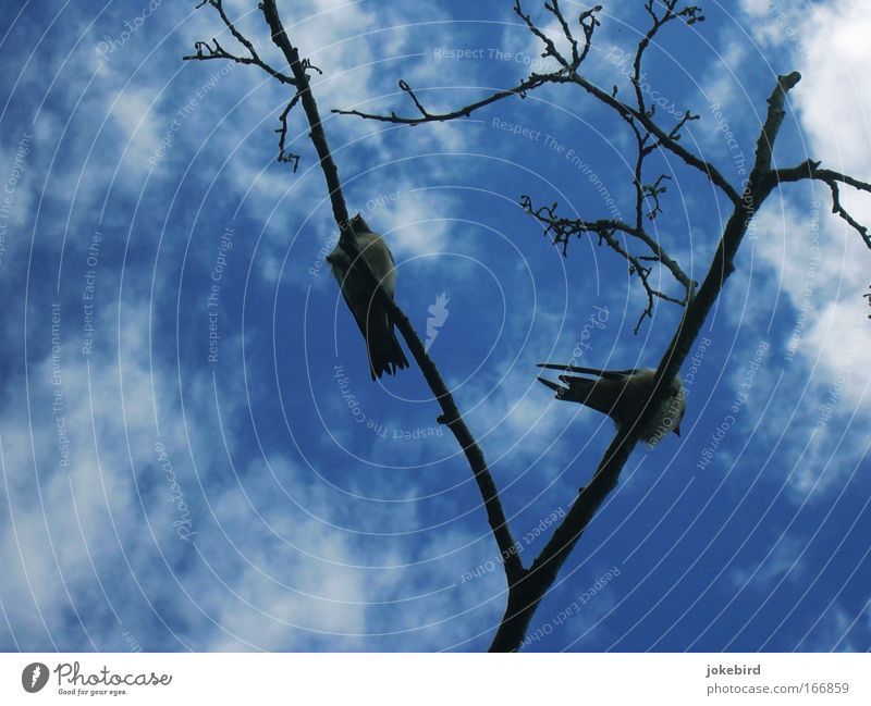 swallow bellies Nature Air Sky Clouds Beautiful weather Tree Bird Swallow Feather Tails Beak 2 Animal Wood Free Together Tall Above Blue White Agreed Friendship