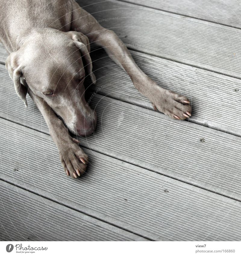 break Animal Dog 1 Relaxation To enjoy Lie Sleep Dream Sadness Simple Gray Serene Patient Calm Weimaraner Hound Paw Snout Colour photo Subdued colour