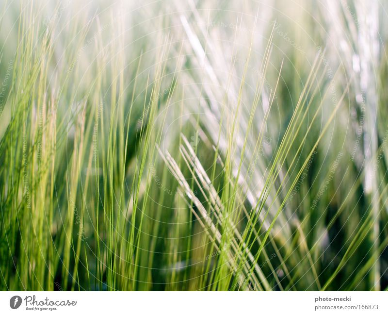 green grass Nature Spring Plant Grass Meadow Fresh Green White Colour photo Exterior shot Detail Contrast Blur Shallow depth of field Blade of grass Day