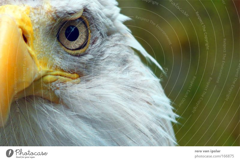Sam Colour photo Exterior shot Day Animal portrait Looking into the camera Bird Eagles eyes 1 Glittering Threat Watchfulness Independence Surveillance