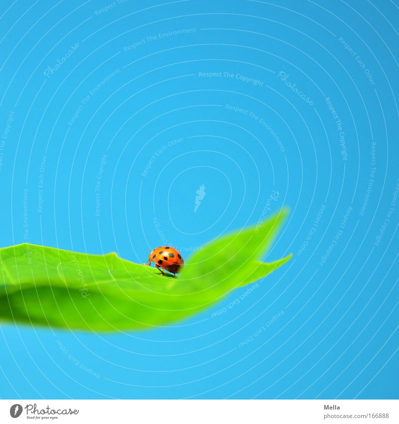 Good luck. Environment Nature Cloudless sky Plant Leaf Animal Beetle Ladybird 1 Sit Natural Blue Green Happy Good luck charm Spotted Colour photo Multicoloured