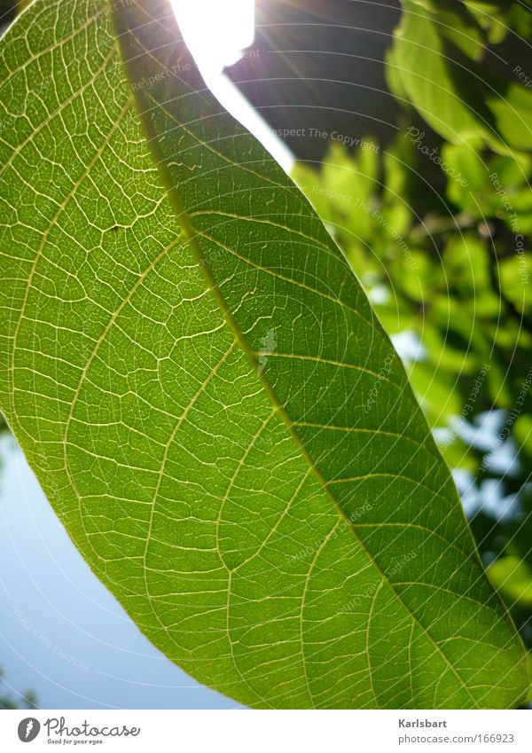 Nature Beautiful Summer Plant Sun Leaf Environment Life Fresh Harmonious Section of image Rachis Leaf green Photosynthesis Bright green X-rayed