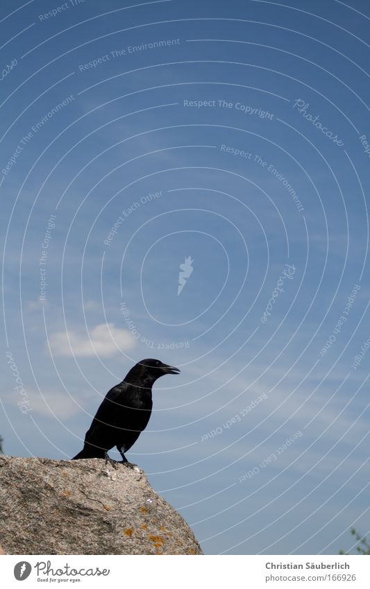 Quoth the raven, Nevermore. Colour photo Exterior shot Deserted Copy Space top Day Silhouette Animal Wild animal Bird Wing Raven birds 1 Bright background