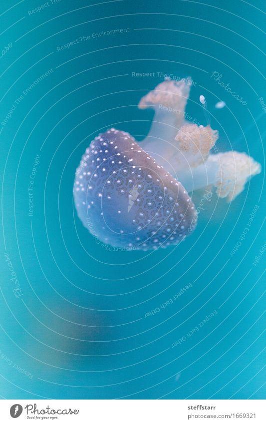 Golden jelly, Phyllorhiza punctata Blue White Animal Yellow Fish Aquarium Jellyfish