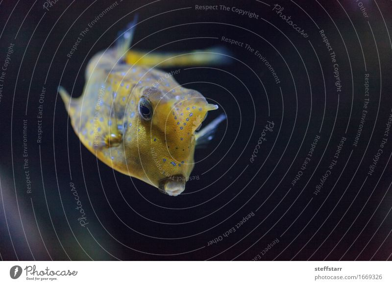 Longhorn cowfish, Lactoria cornuta Blue Animal Black Yellow Wild animal Fish Pet Animal face Aquarium