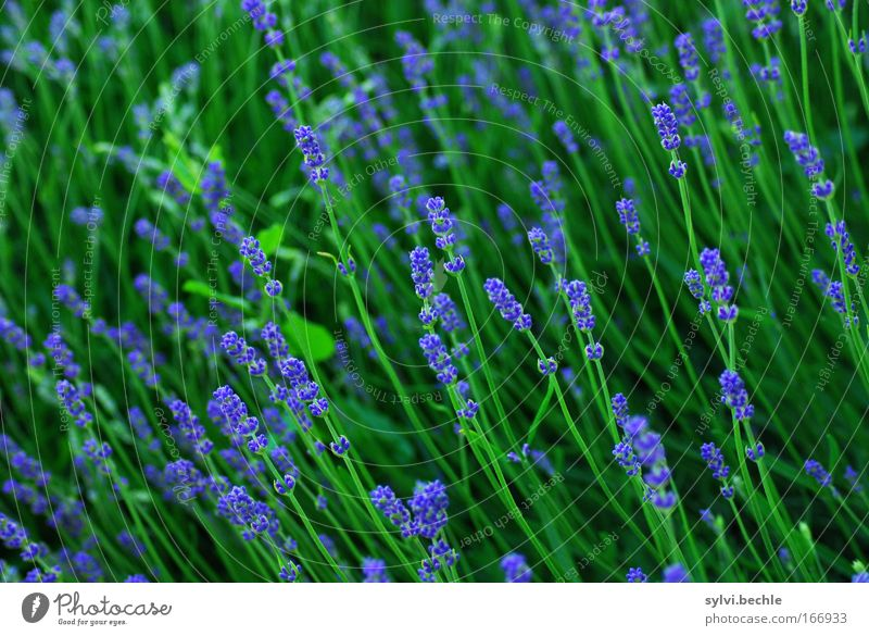 towards the sun Nature Plant Summer Blossom Foliage plant Lavender Blossoming Fragrance Growth Fresh Beautiful Long Blue Green Idyll Vacation & Travel Moody