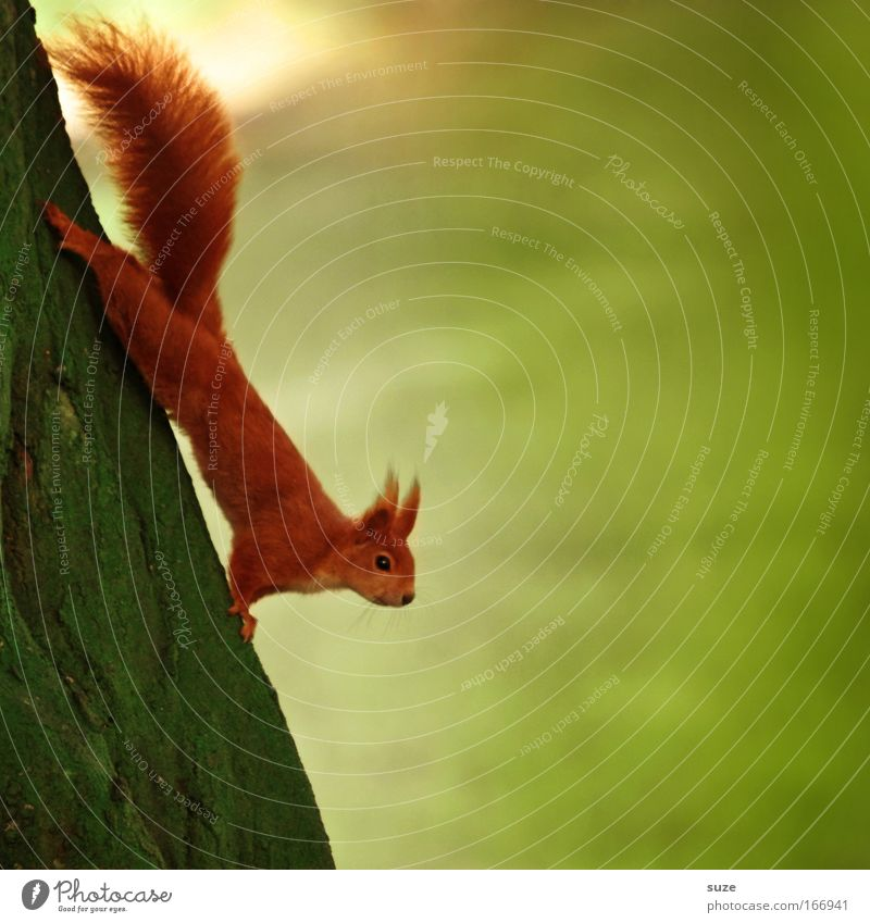 neck over head Environment Nature Plant Animal Summer Tree Meadow Wild animal Squirrel 1 Hang Authentic Funny Cute Green Red Love of animals Curiosity Interest