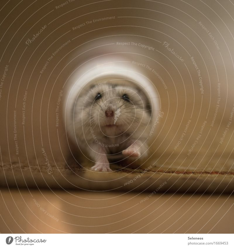 nibbler Environment Nature Animal Pet Wild animal Animal face Hamster 1 Running Small Near Colour photo Interior shot Artificial light Shallow depth of field