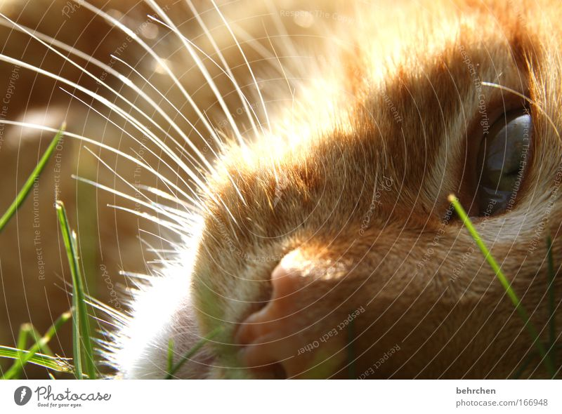 Cat Nature Beautiful Animal Eyes Grass Lie Orange Dream To enjoy Drops of water Beautiful weather Nose Pelt Blade of grass Pet