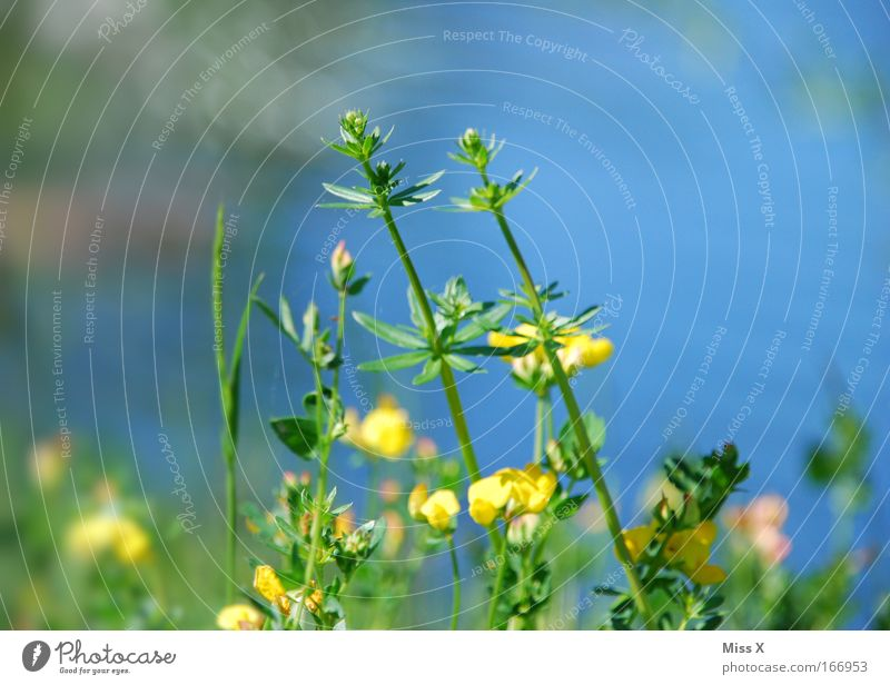 Nature Flower Blue Yellow Meadow Grass Lake Growth Bushes Pond Bog Marsh Spring fever