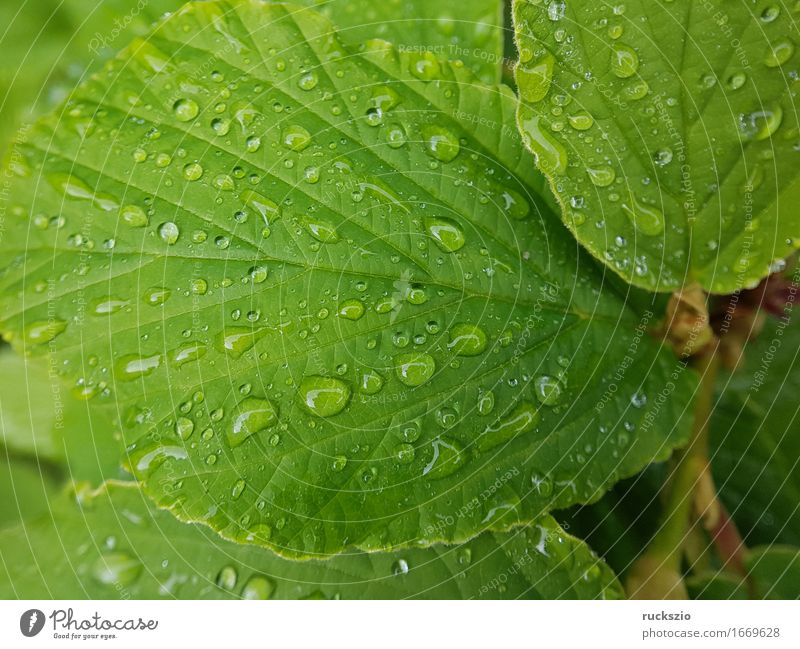 dewdrops; weed; water; structure; dew; raindrops Nature Water Drops of water Leaf Esthetic Wet Dew Hamamelis japonica mist drops Pearl taupe droplet tautropepfe