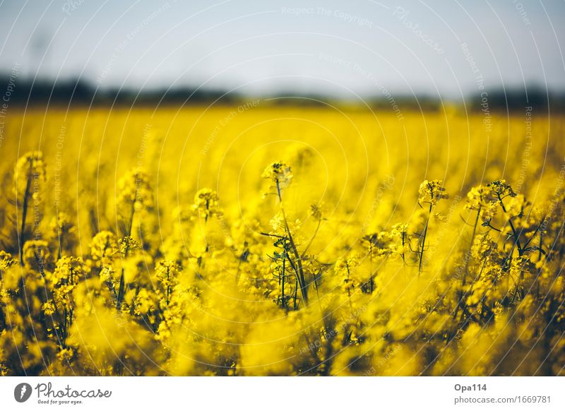 rapeseed Environment Nature Plant Animal Spring Summer Beautiful weather Foliage plant Agricultural crop Canola Canola field Field Blossoming Fragrance Stand