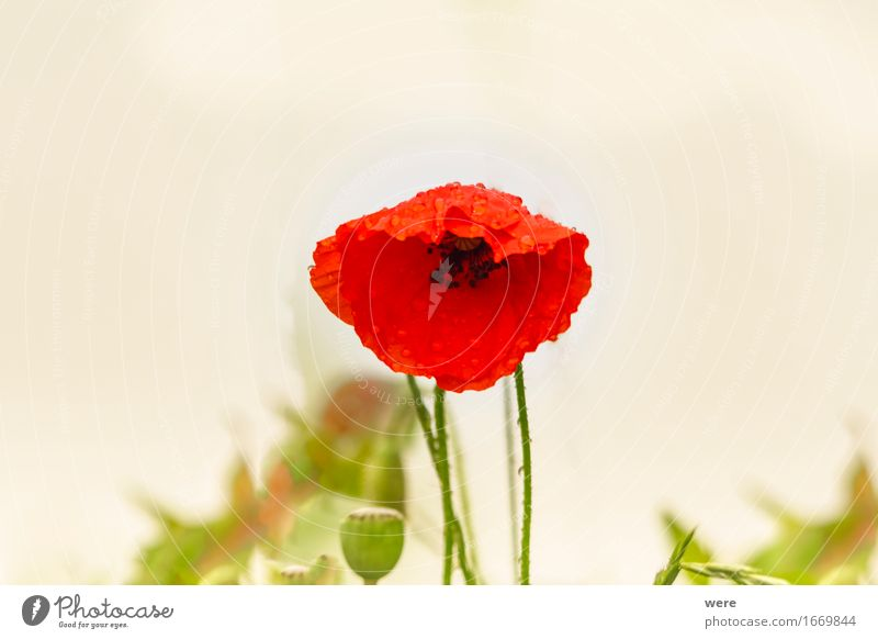 Nature Plant Water Flower Leaf Spring Blossoming Wet Poppy Environmental protection Intoxicant Dew Damp Habitat Corn poppy Opium poppy