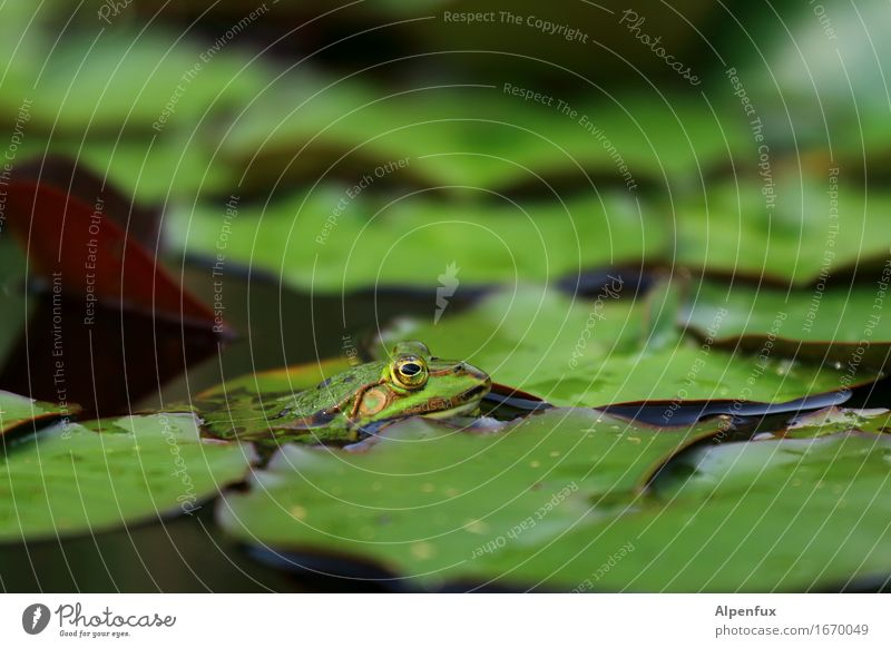 worm's-eye view Environment Nature Water lily pond Water lily leaf Pond Animal Frog 1 Observe Kissing Looking Wet Green Water frog Colour photo Exterior shot