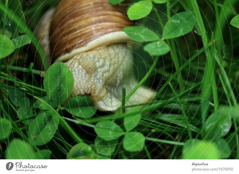 Nature Green Animal Environment Meadow Natural Park Near To feed Snail Cloverleaf Slimy Snail shell Vineyard snail Snail slime Large garden snail shell