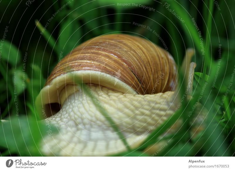 And bye-bye. Environment Nature Grass Garden Park Meadow Animal Snail 1 Crawl Slimy Brown Green Environmental protection Vineyard snail Large garden snail shell