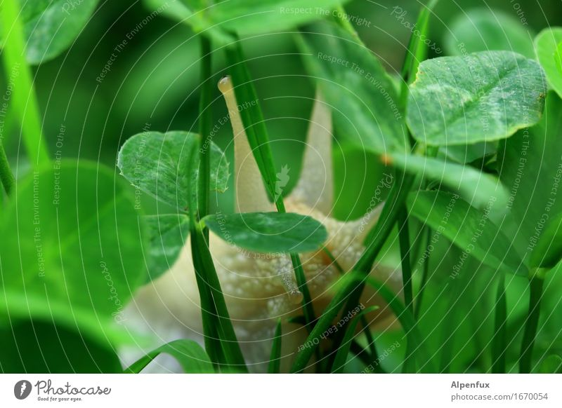 In the jungle Environment Nature Garden Park Meadow Animal Snail 1 To feed Crawl Wet Cute Slimy Green Naked Large garden snail shell Vineyard snail Cloverleaf