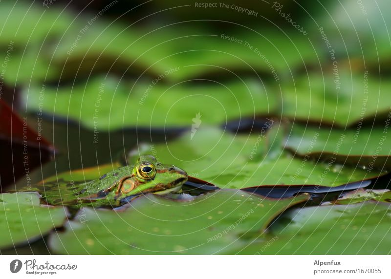 Worm's-eye view II Environment Nature Water lily Water lily leaf Water lily pond Park Pond Lake Animal Frog 1 Observe Kissing Wet Green Water frog Colour photo