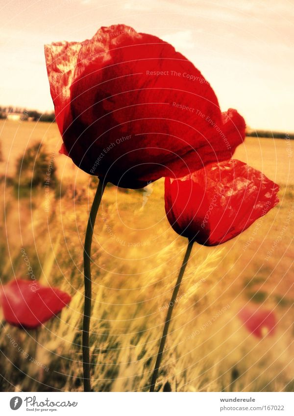 poppy magic Colour photo Exterior shot Deserted Day Central perspective Plant Flower Wild plant Field Freedom Peace Nature Poppy Red