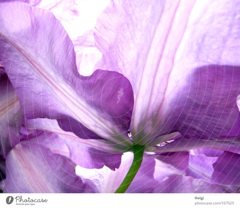 Close-up of petals of a purple clematis flower Colour photo Exterior shot Detail Deserted Day Back-light Environment Nature Plant Spring Beautiful weather