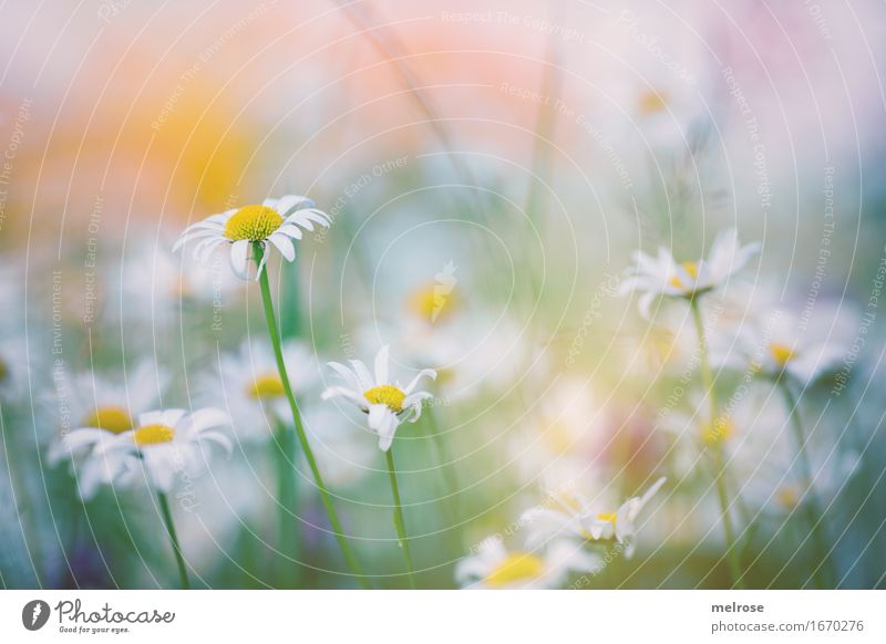 Nature Plant Summer Green White Flower Relaxation Leaf Yellow Blossom Meadow Style Garden Orange Elegant Illuminate
