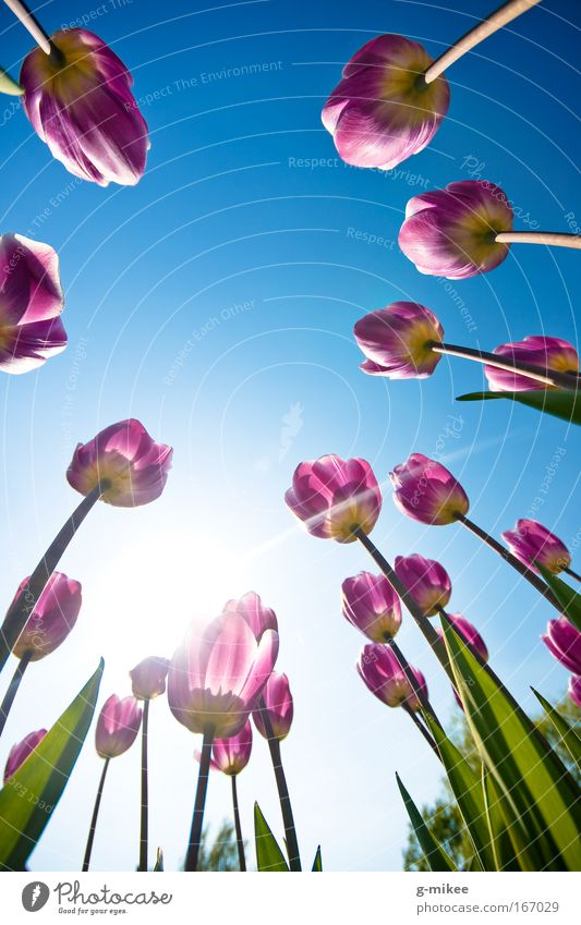 Tulips Tulips Tulips Tulips Nature Plant Sky Cloudless sky Spring Garden Park Free Infinity Bright Natural Beautiful Blue Green Violet Happiness Flexible Life