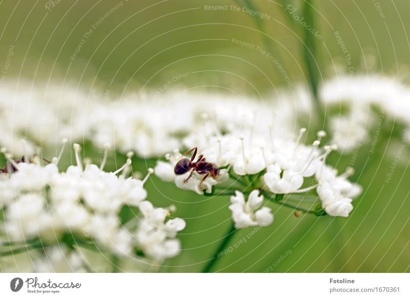 Busy summer Environment Nature Plant Animal Summer Beautiful weather Flower Garden 1 Free Bright Near Natural Green White Ant Common Yarrow Blossom Crawl