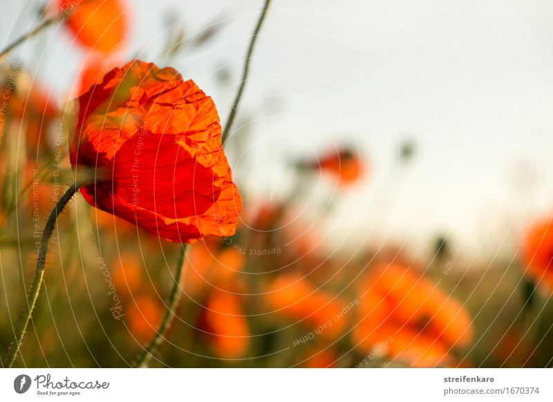 Poppy seed from the left Harmonious Contentment Calm Meditation Summer Summer vacation Environment Nature Plant Flower Wild plant Field Blossoming Relaxation