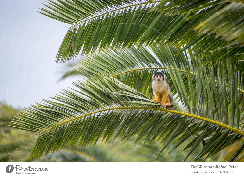 I've got a house a monkey and a..... Animal Wild animal Blue Brown Yellow Green Black White Young monkey squirrel monkeys Palm tree Sky Branch Loneliness